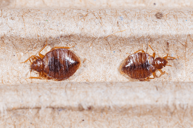photo of bed bugs in a box