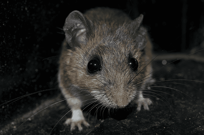 photo of mouse in south florida