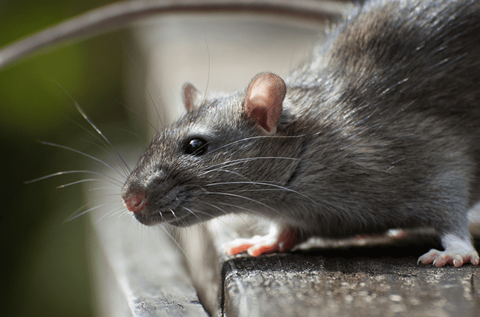 photo of rat in florida