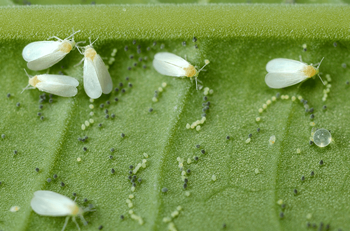 photo of whiteflies in florida