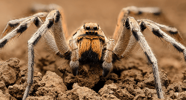 photo of wolf spider in florida