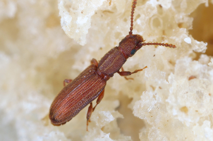 Sawtooth Grain Beetle