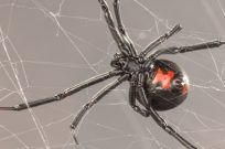 Southern Black Widow Spider